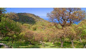 Oak Forest (Velanidies) – Agios Efstratios
